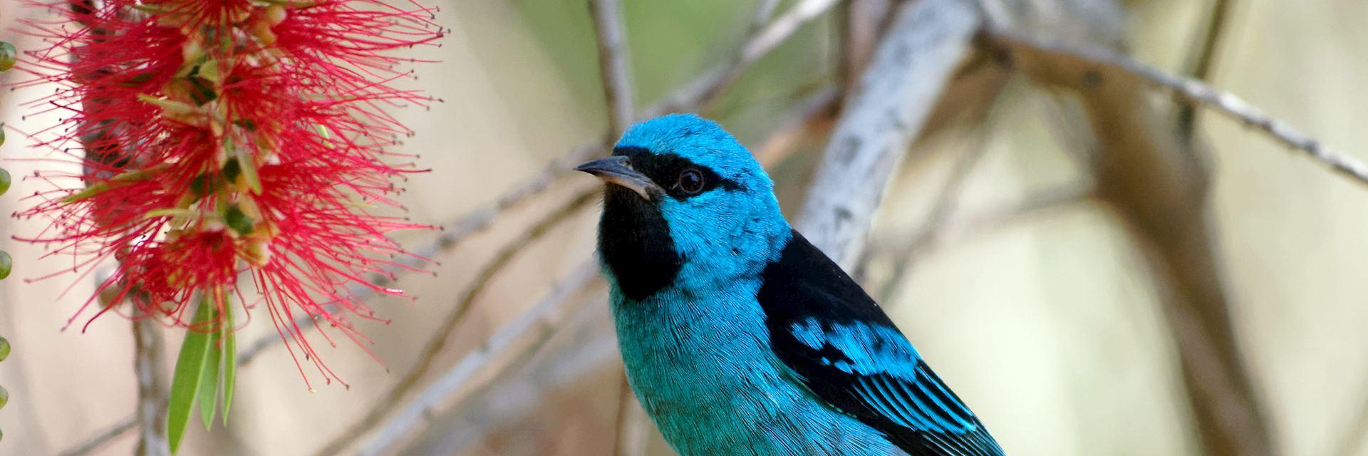 Blue dacnis on a bottlebrush tree, Nicaragua