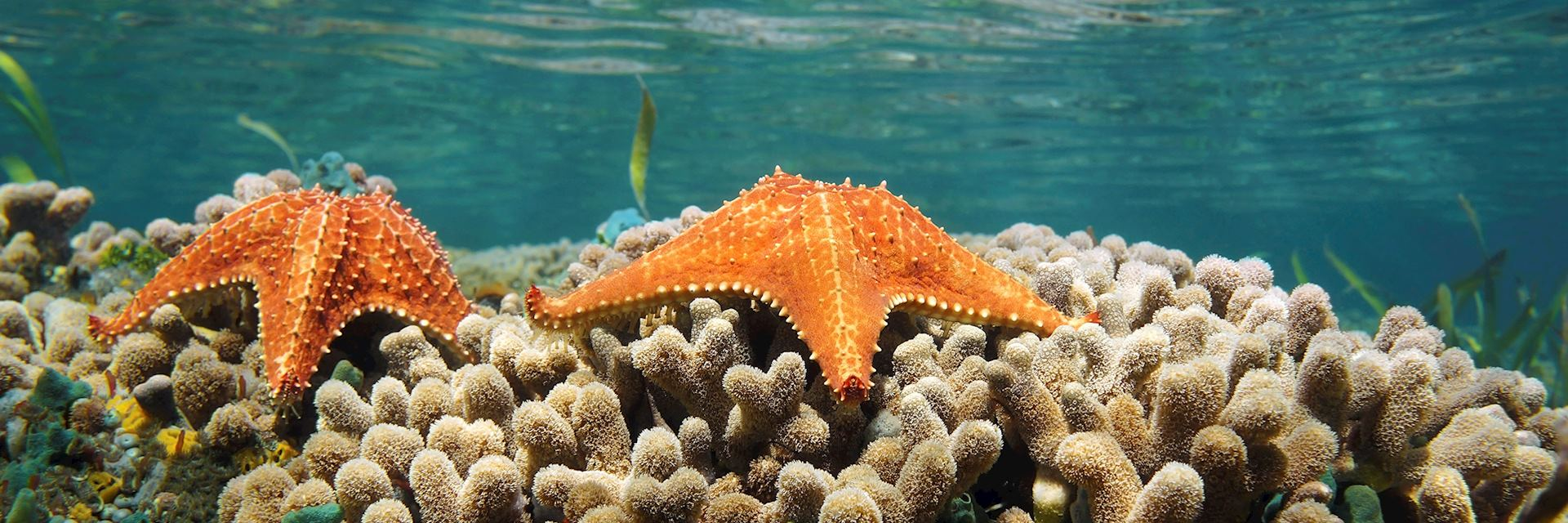 Starfish, Bocas del Toro