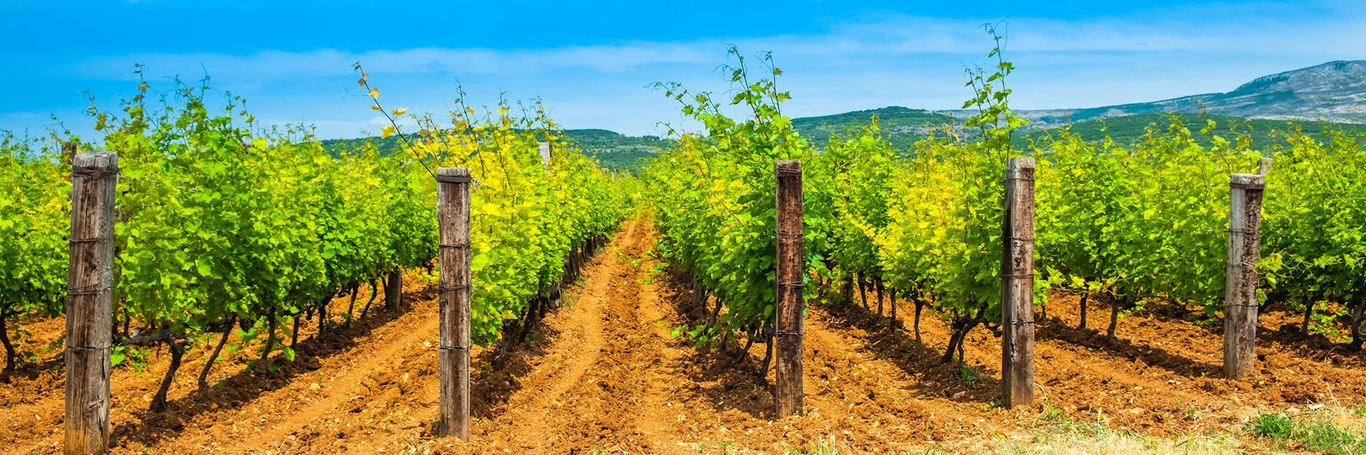 Vineyard on Dalmation coast