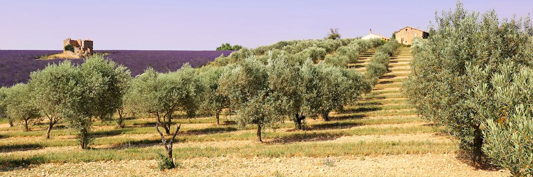Olive trees and lavender field, Provence