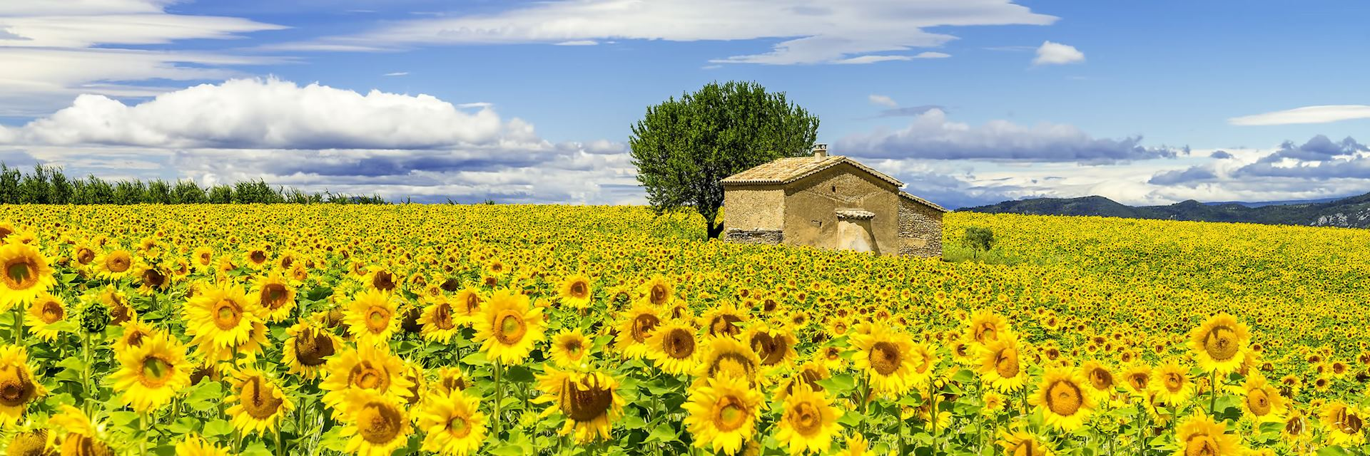 Sunflowers, Provence