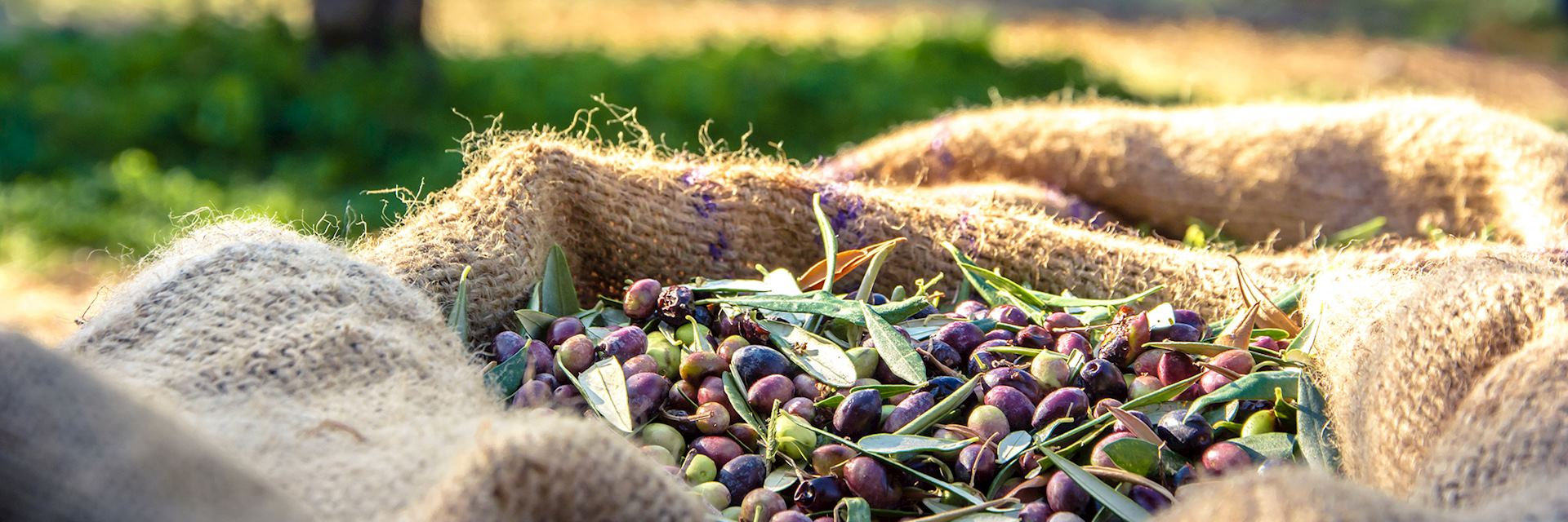 Harvested fresh olives
