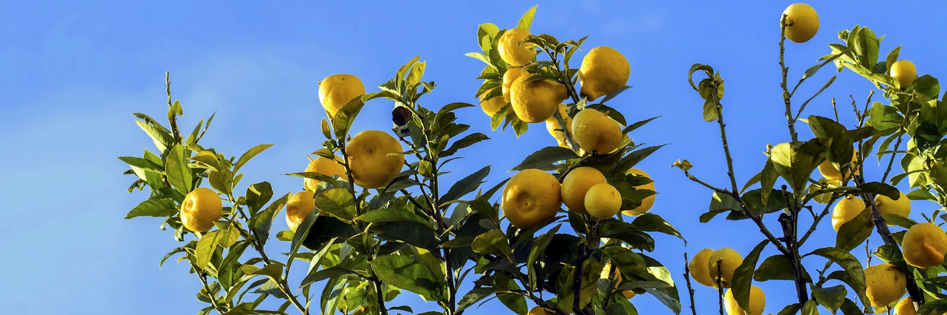 Lemon trees, Sorrento