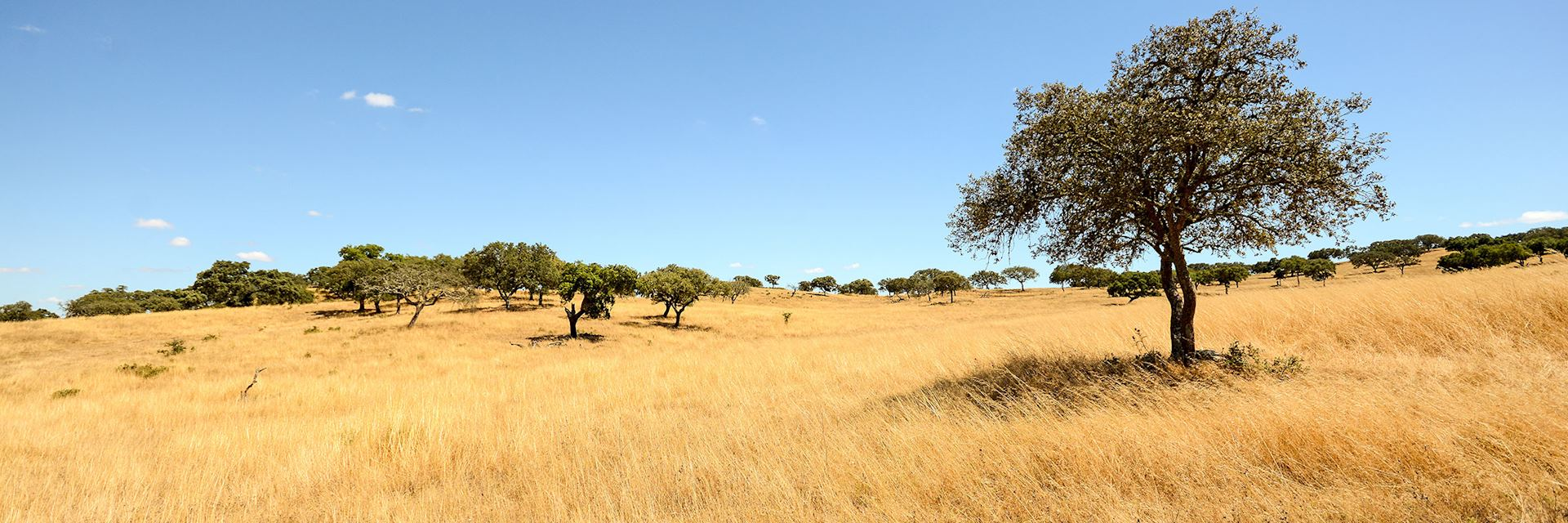 Alentejo landscape with cork oak trees and yellow fields in late summer near Beja, Portugal