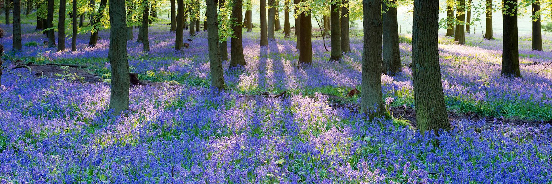 Bluebell wood, England