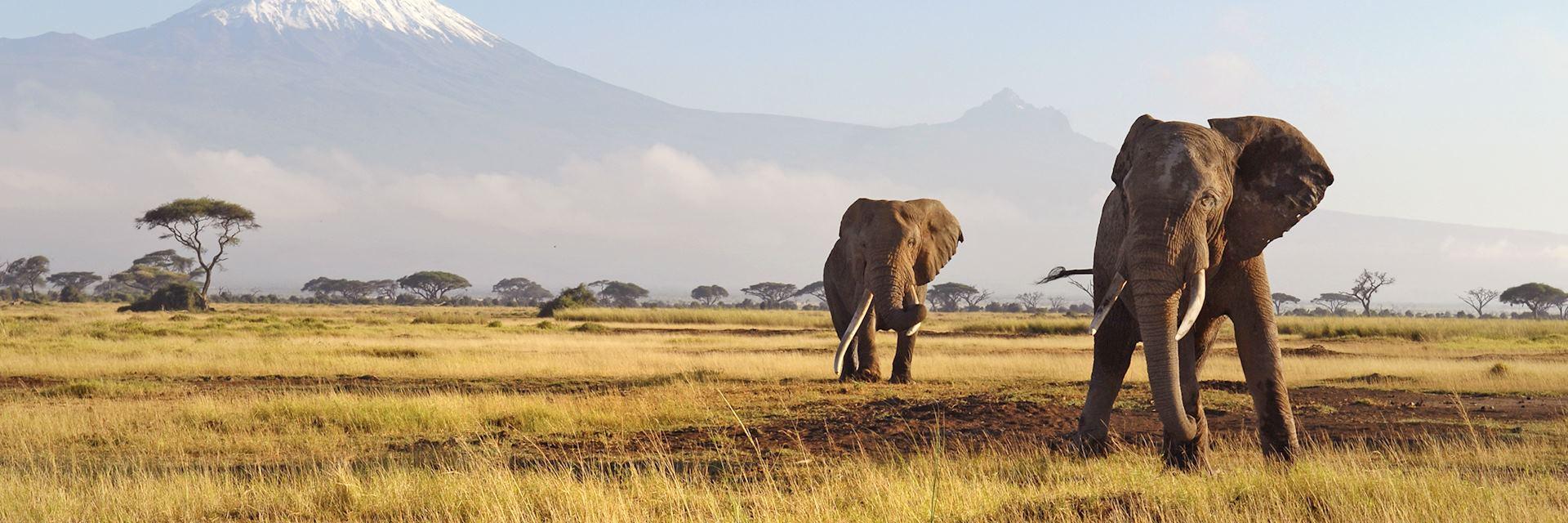 Elephants in the African savanna