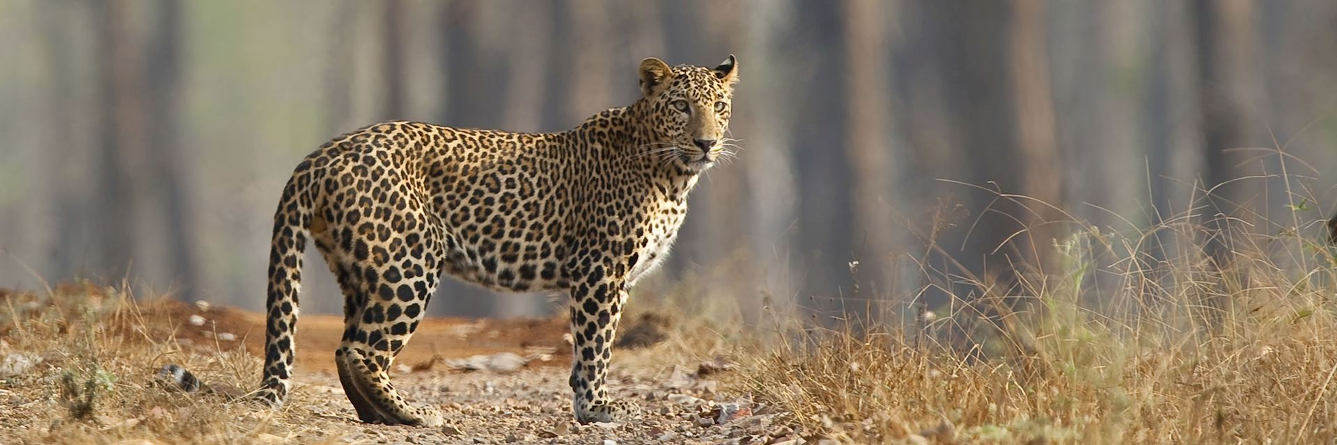 Leopard in Nagarhole National Park in the southern state of Karnataka