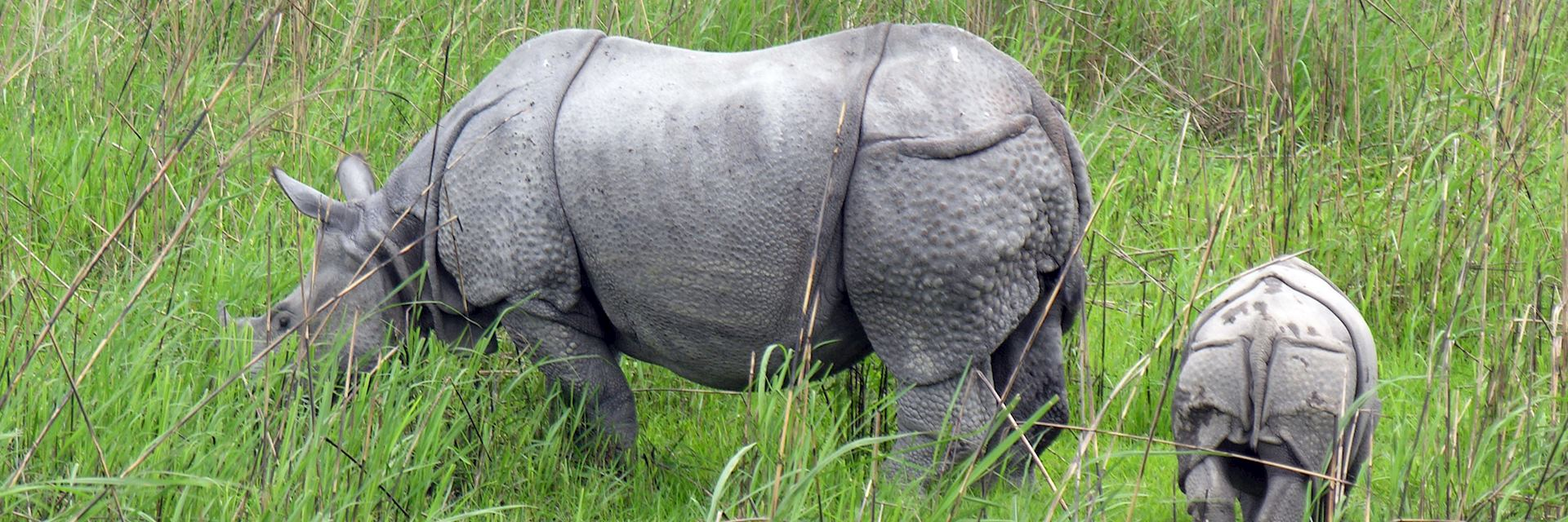 One-horned rhino grazing in Kaziranga National Park