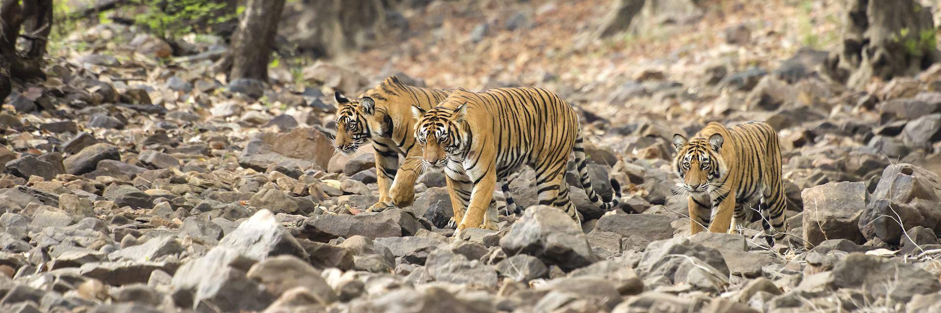 Tigers, Ranthambore National Park