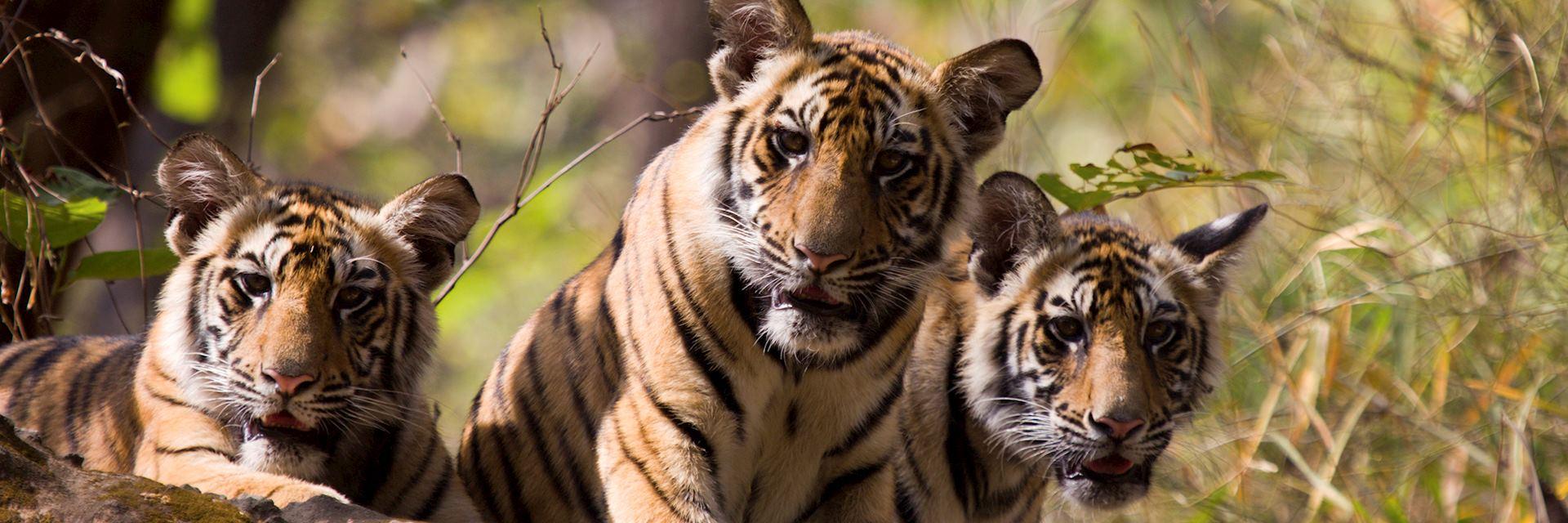 Tiger in Bandhavgarh National Park