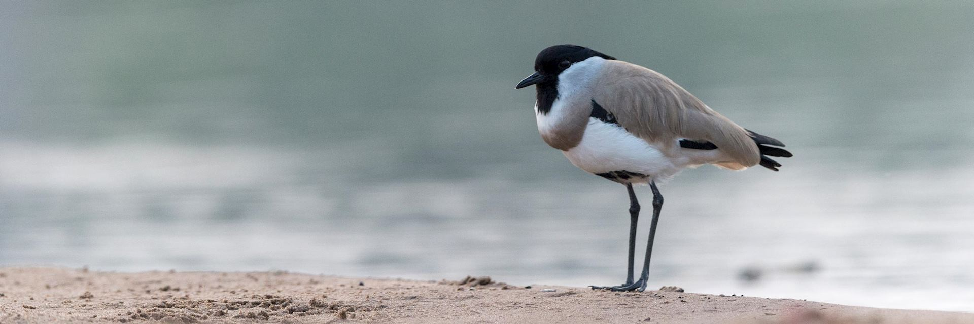 River lapwing in Chambal Sanctuary
