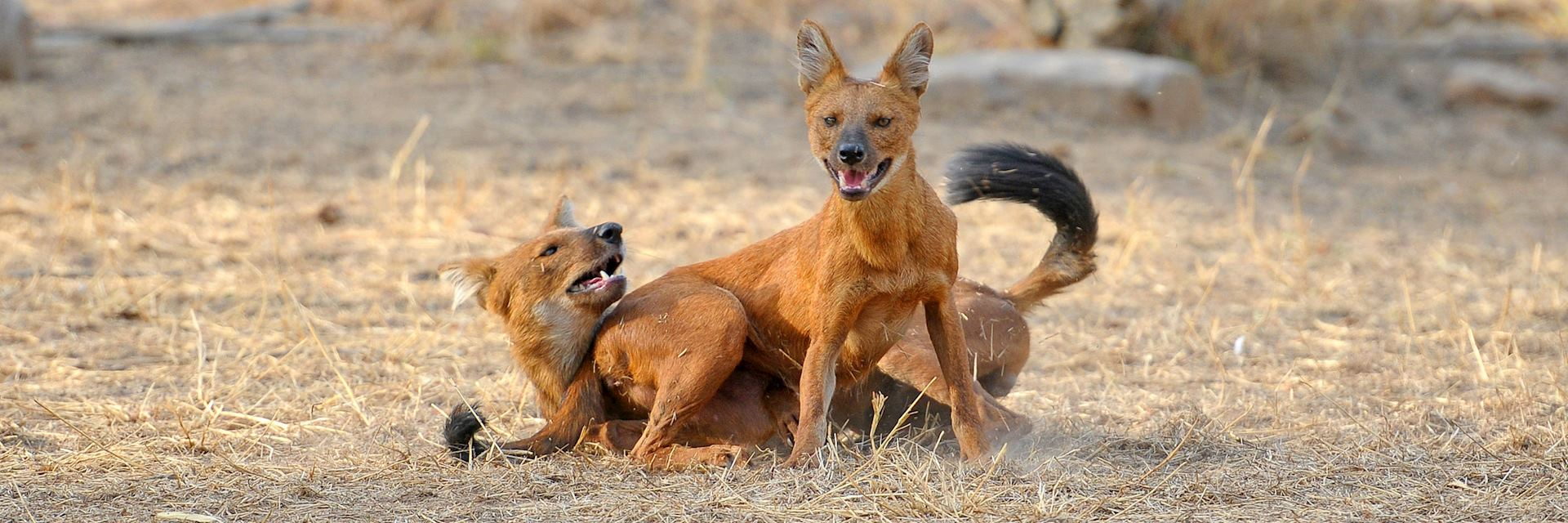 Wild dogs in Tadoba National Park