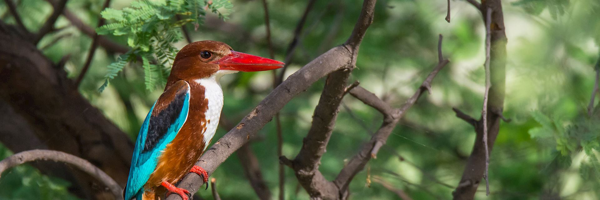 White-throated kingfisher in Keoladeo National Park