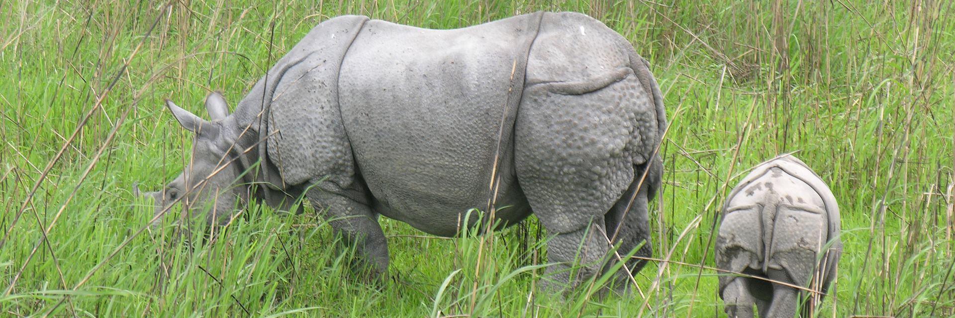 Indian one horned rhino, Kaziranga National Park