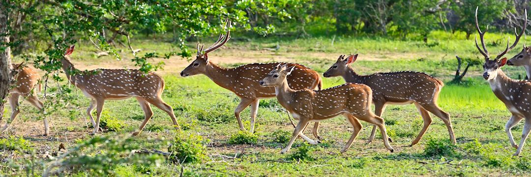Spotted deer in Yala National Park, Sri Lanka