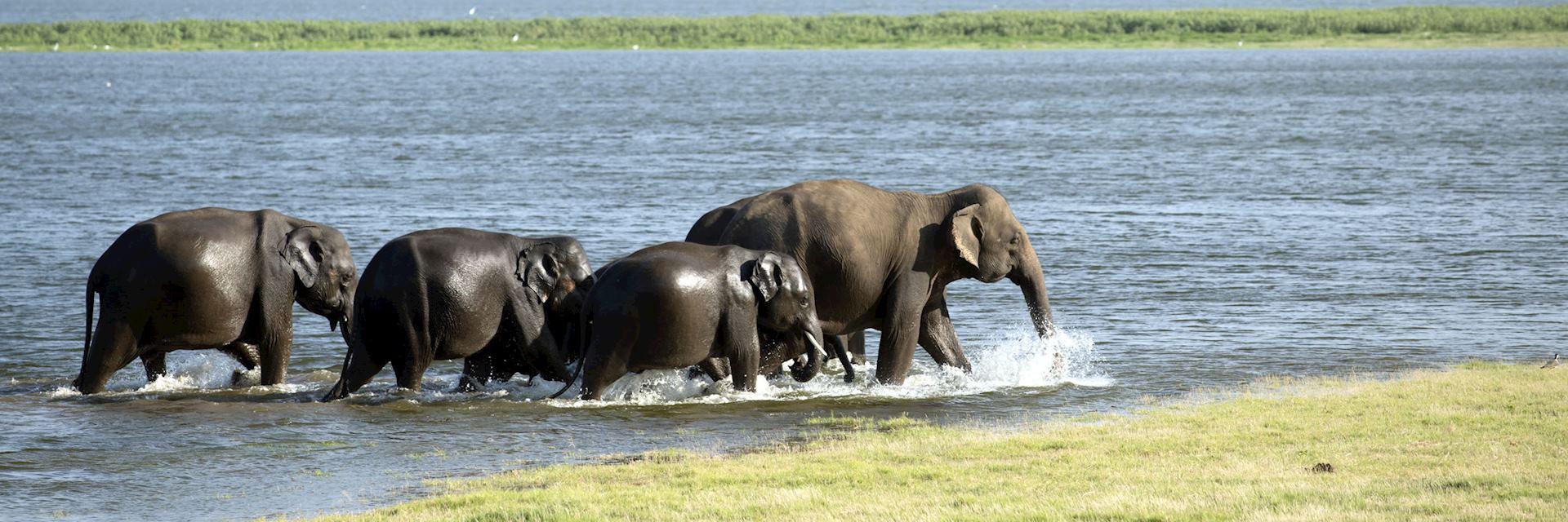 Asian elephants crossing a river in Sri Lanka
