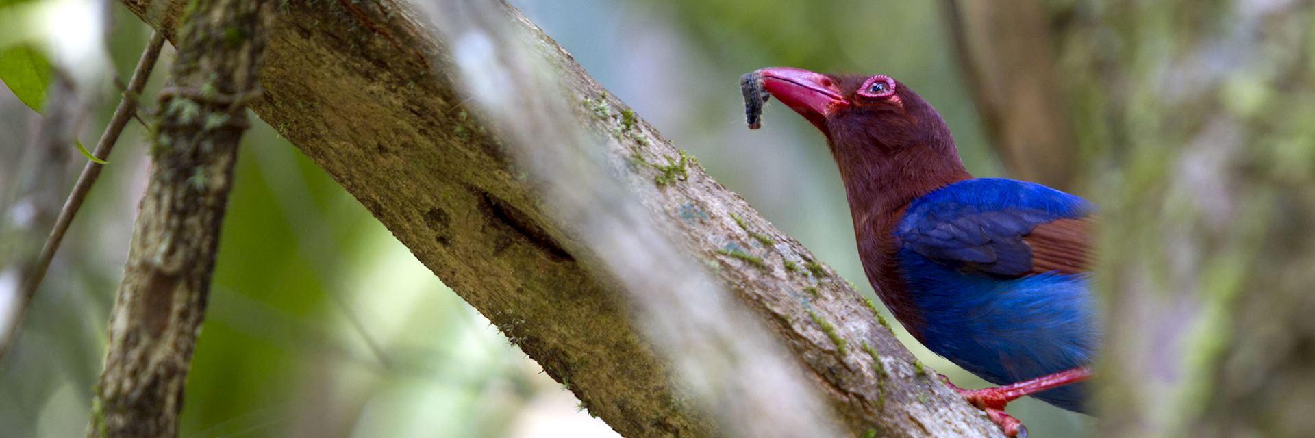 Sri Lanka blue magpie, Sinharaja Biosphere