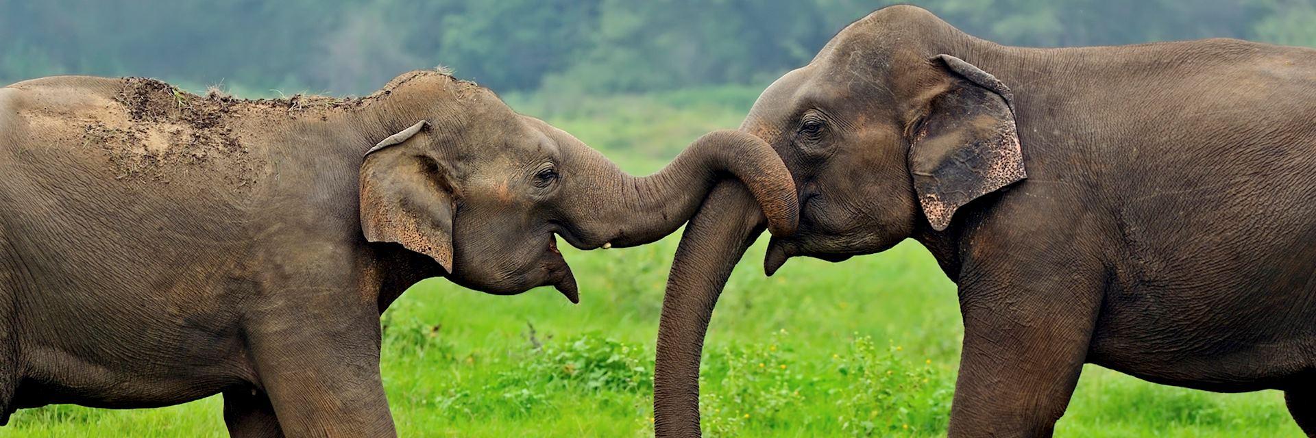 Elephants, Yala National Park
