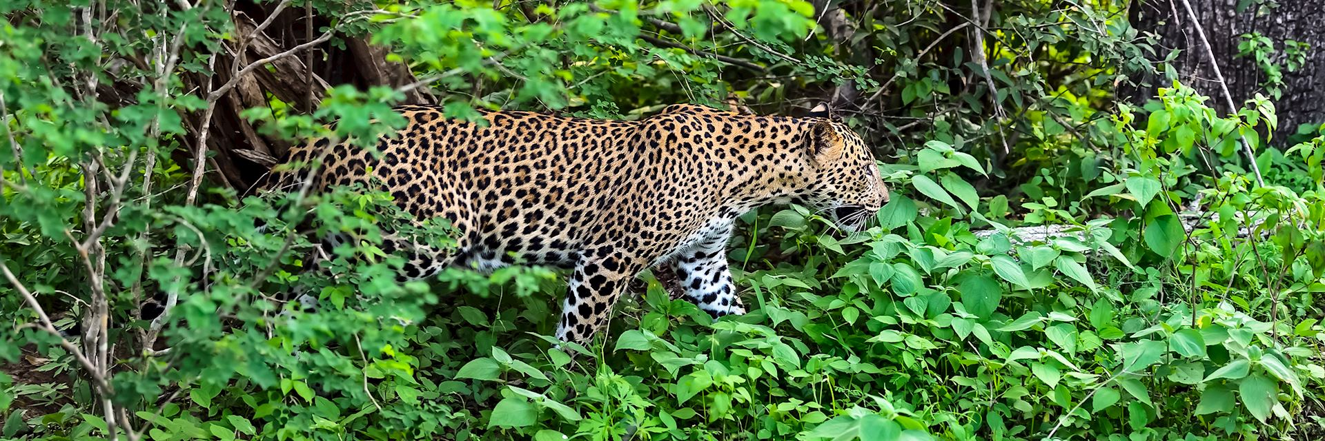 Leopard, Yala National Park