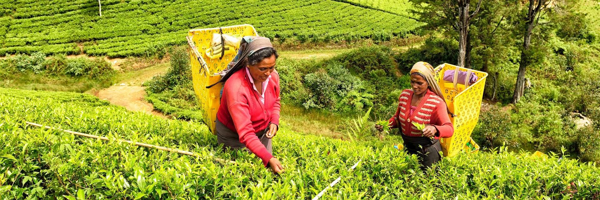 Tea pickers in Nuwara Eliya
