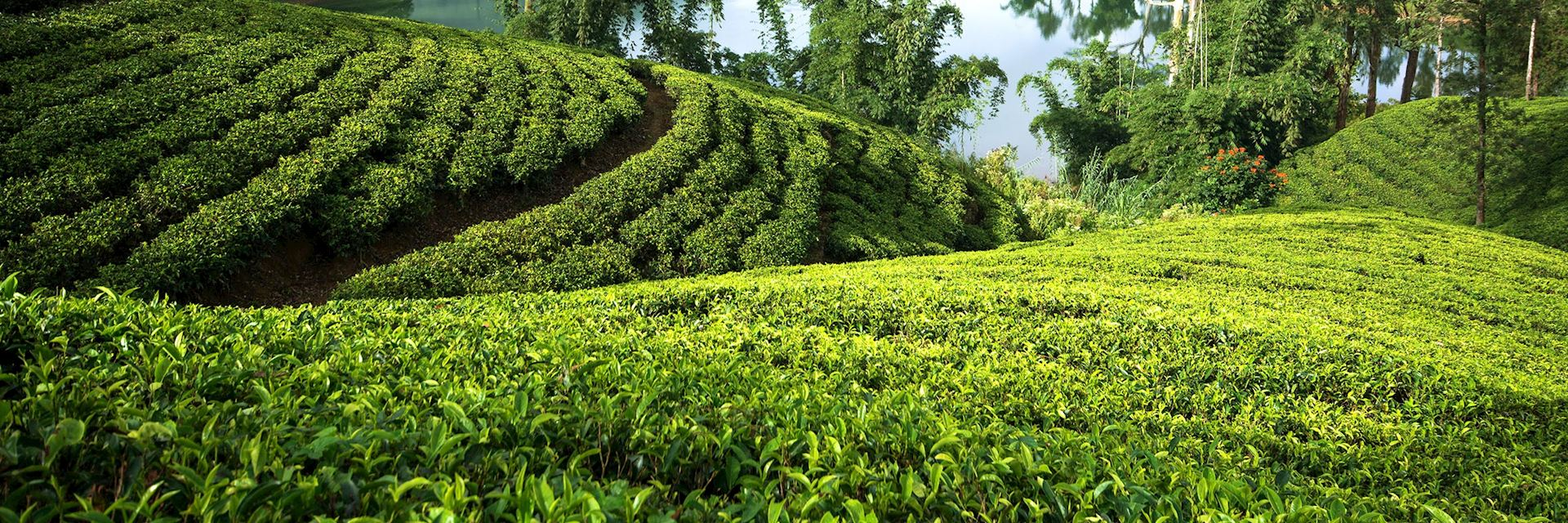 Tea estate, Hatton