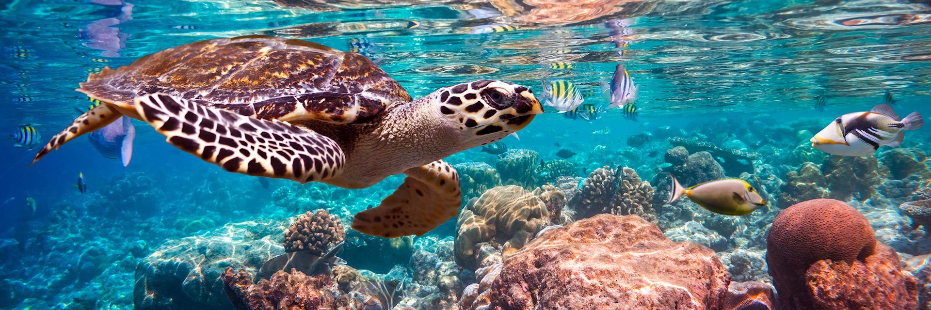 Hawksbill turtle, Maldives