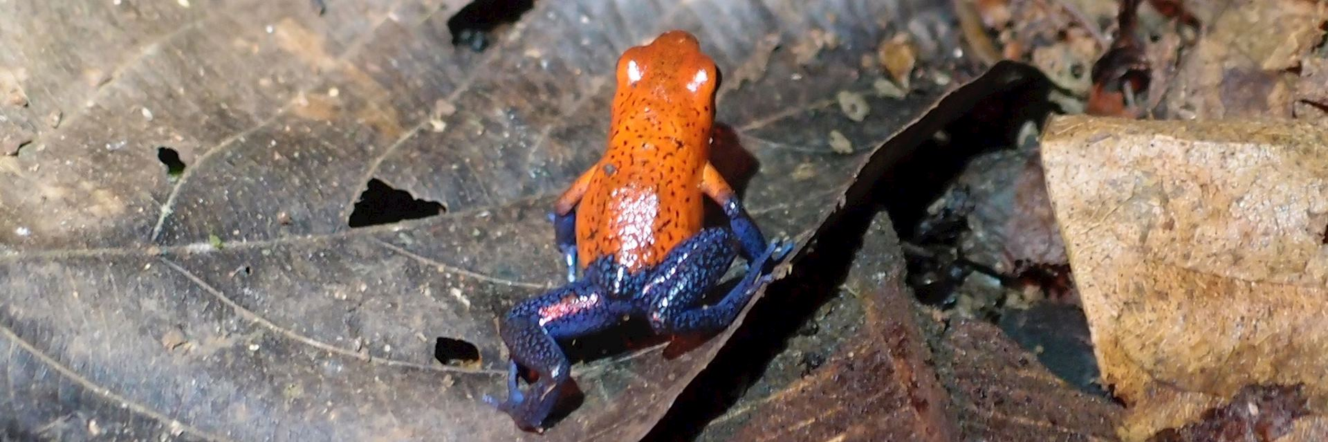 Blue-jeans poison dart frog, Costa Rica
