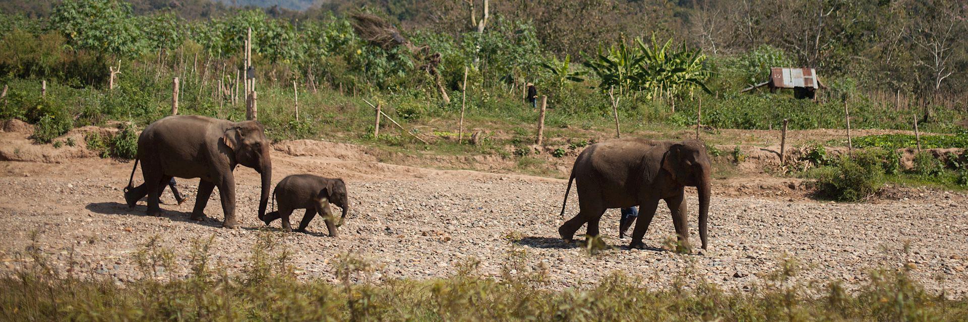 Family of elephants, Laos
