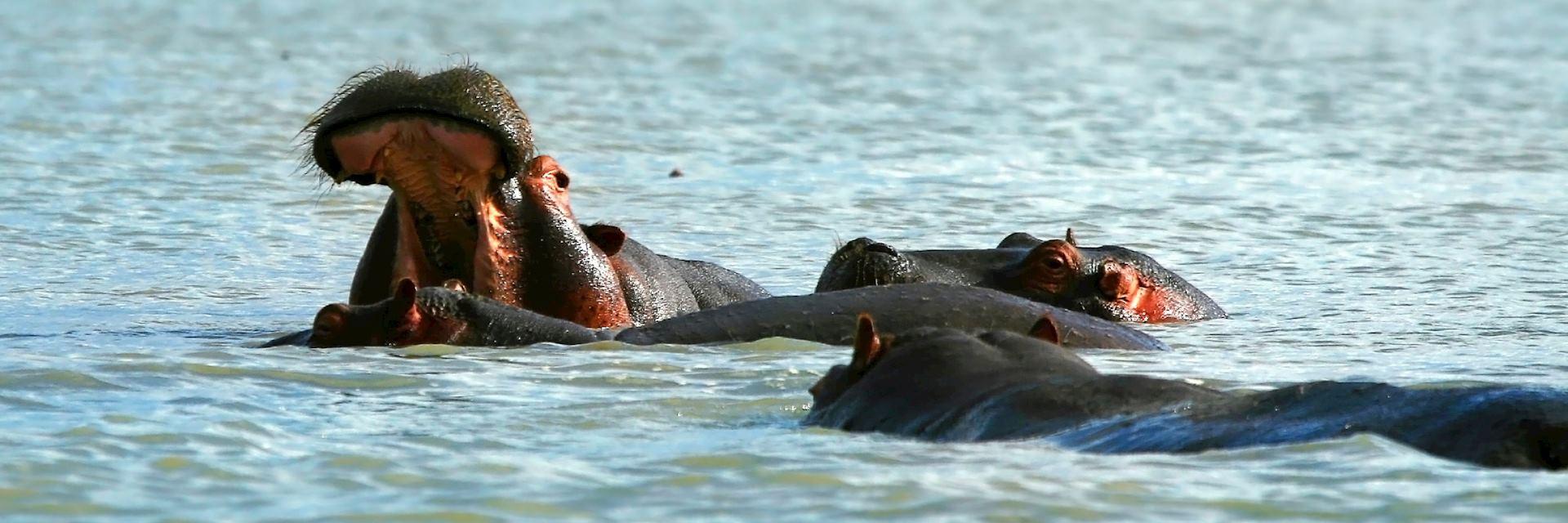 Hippo in Lake Naivasha, Kenya