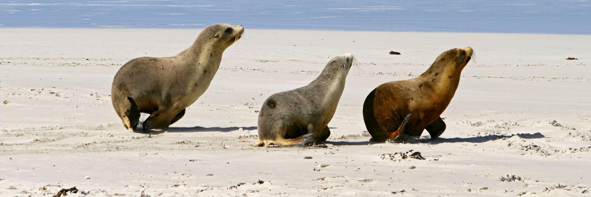 Seals on Kangaroo Island, Australia