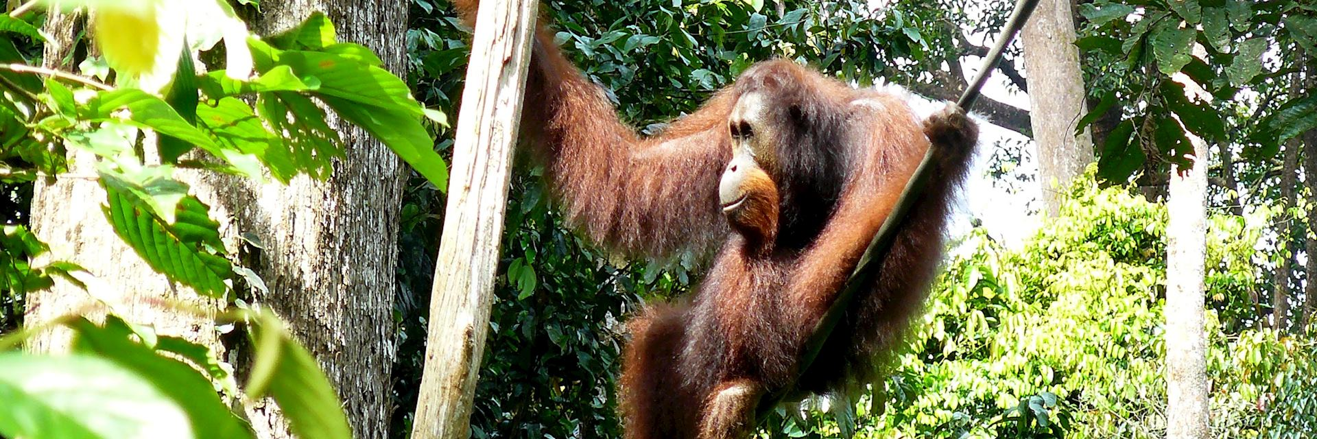 Orangutan in Sepilok, Borneo