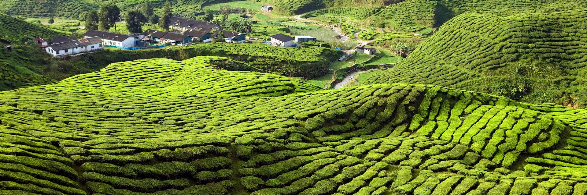 Tea plantations in the Cameron Highlands, Malaysia