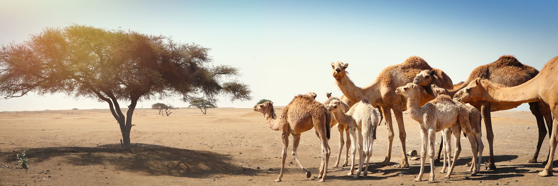 Camels in Oman