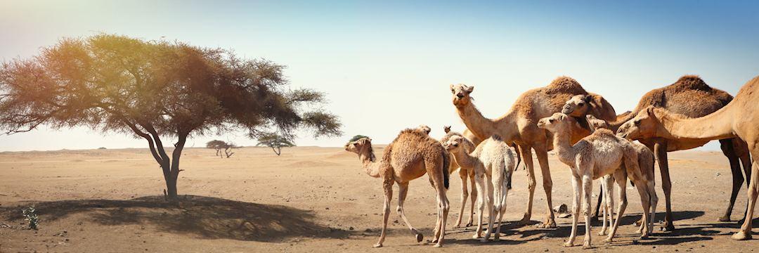 Camels in Oman
