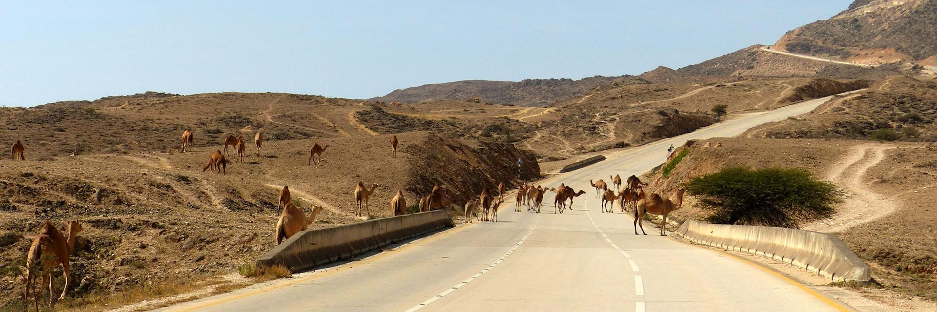 Camels in road in Dhofar, Oman