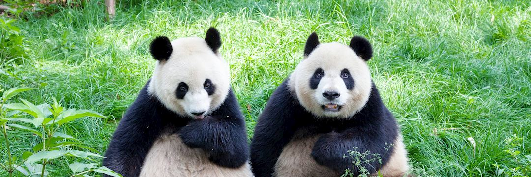 Pandas at Chengdu Panda Research Base