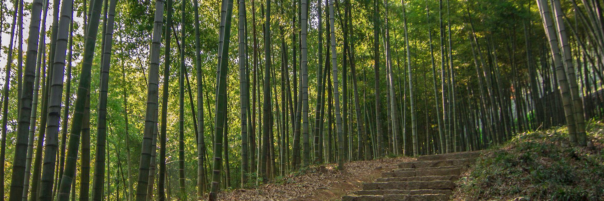 Bamboo forest, Moganshan