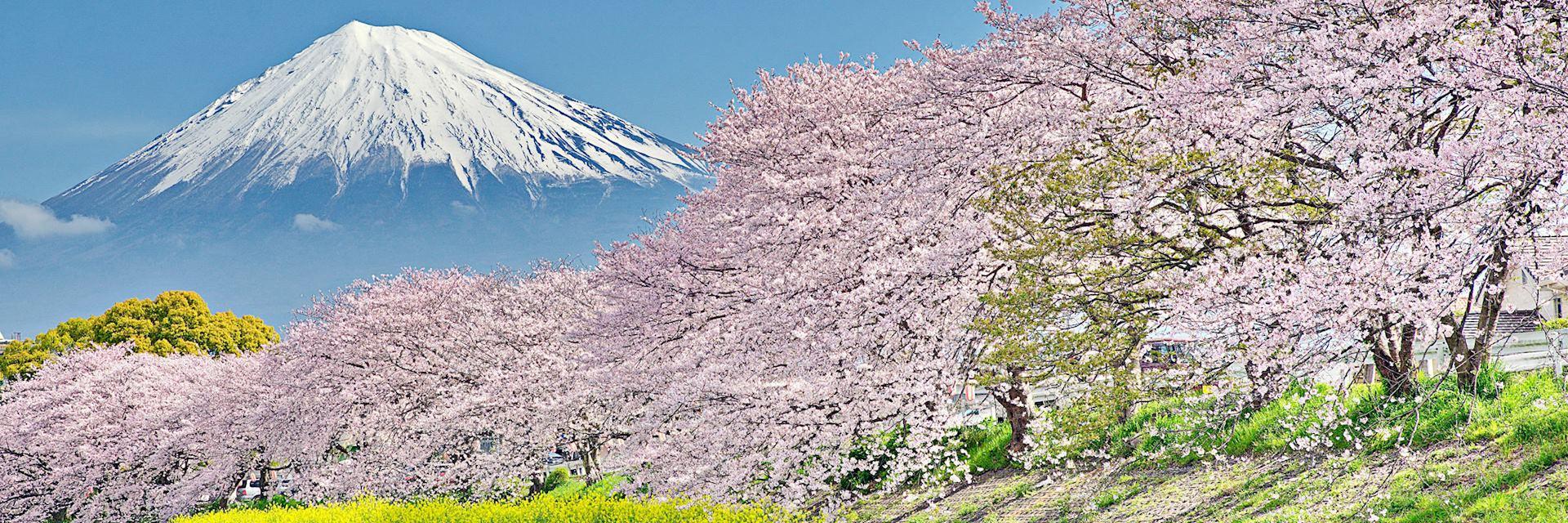 Cherry blossom on the Uruigawa River, near Mount Fuji