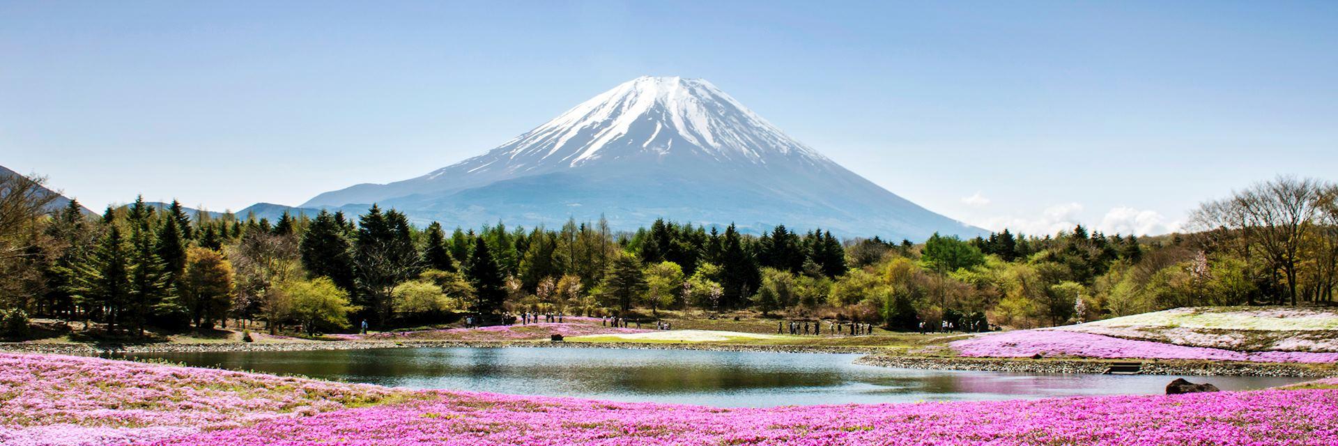 Shibazakura flowers growing around Mount Fuji