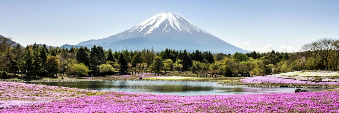Shibazakura flowers growing around Mount Fuji