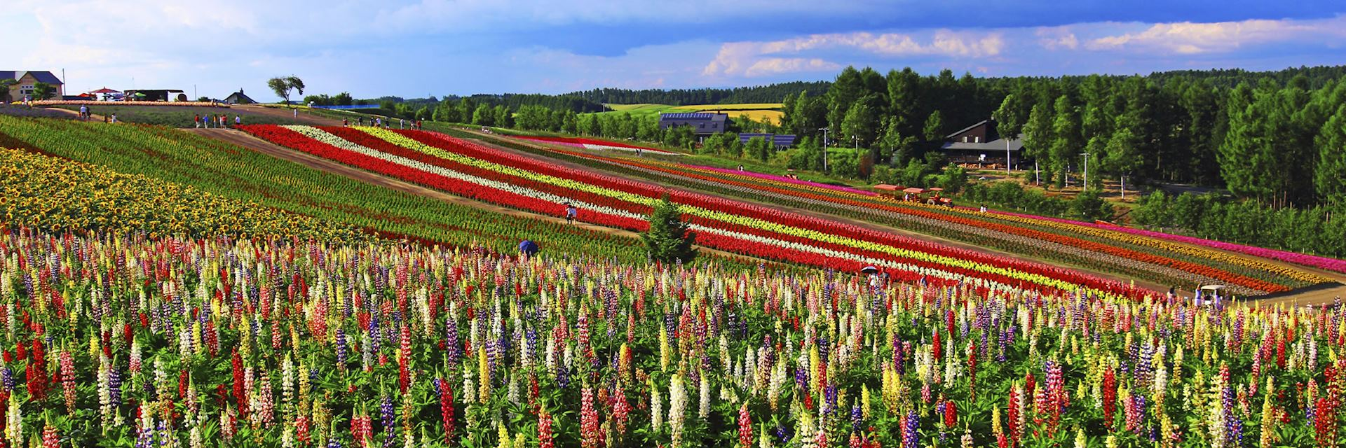 Flower fields around Shikisai Hill in Hokkaido