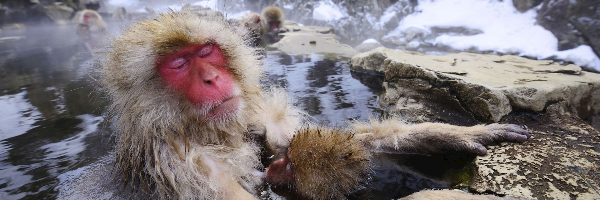 Snow monkeys relax in the hot springs of Yudanaka