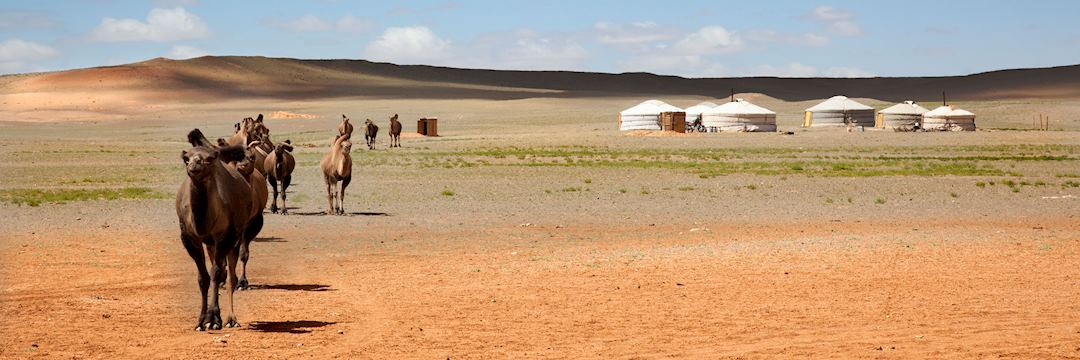 Camels and yurts in the Gobi Desert, Mongolia