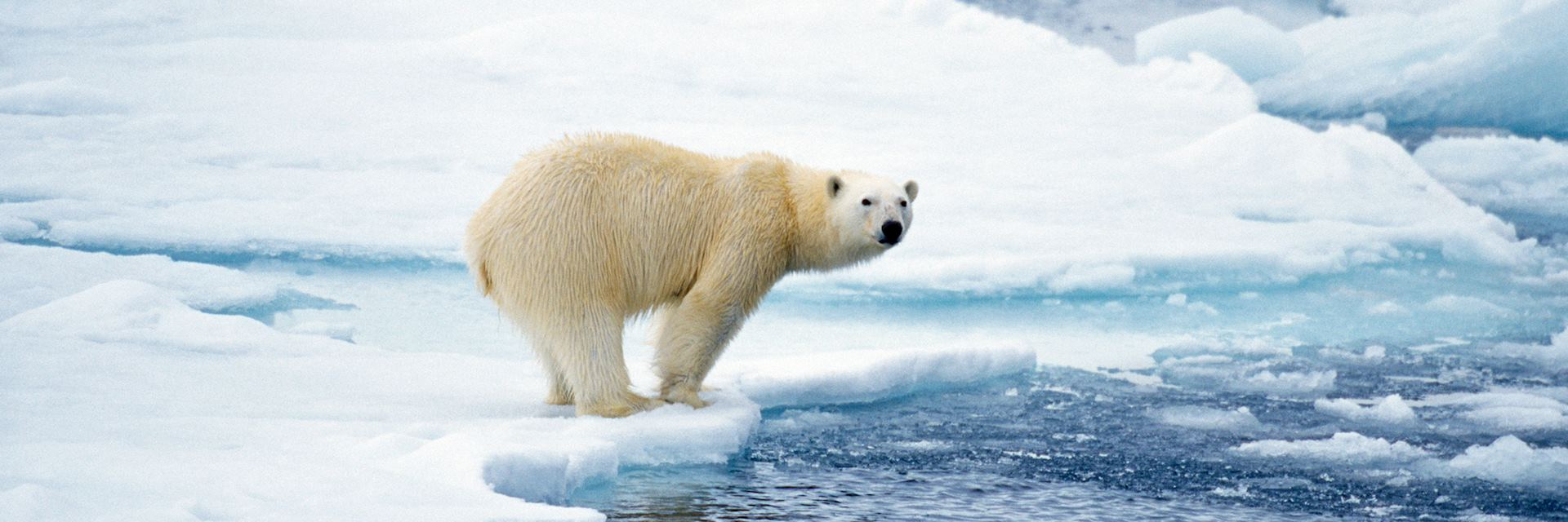 Polar bear about to dive into the Arctic's icy waters