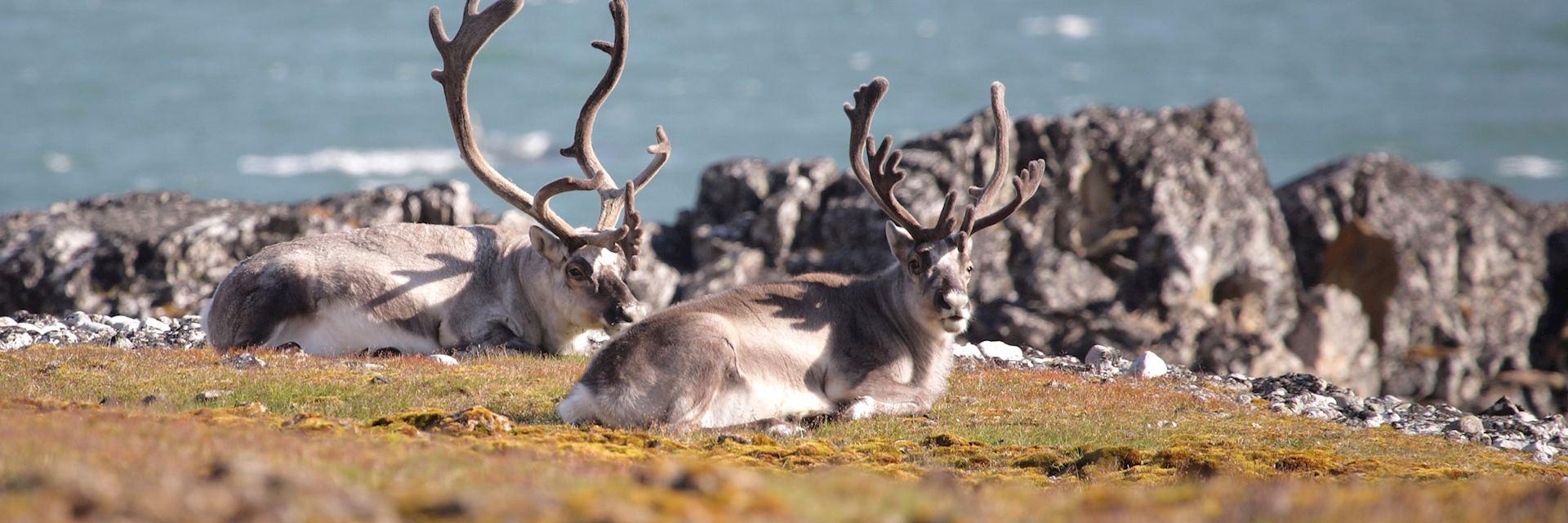 Arctic caribou in Spitsbergen