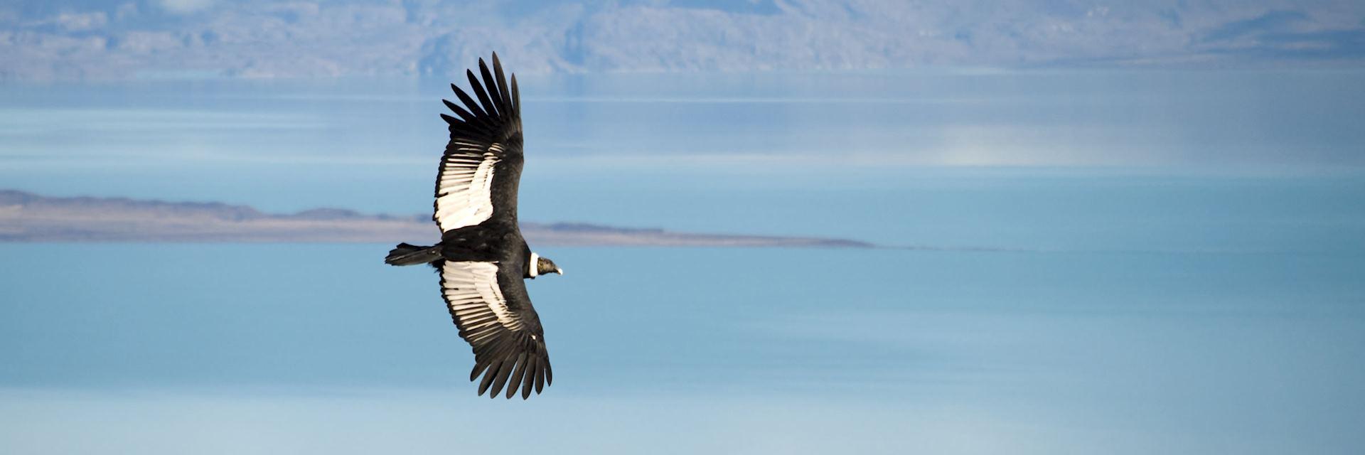 Patagonian condor, Argentina