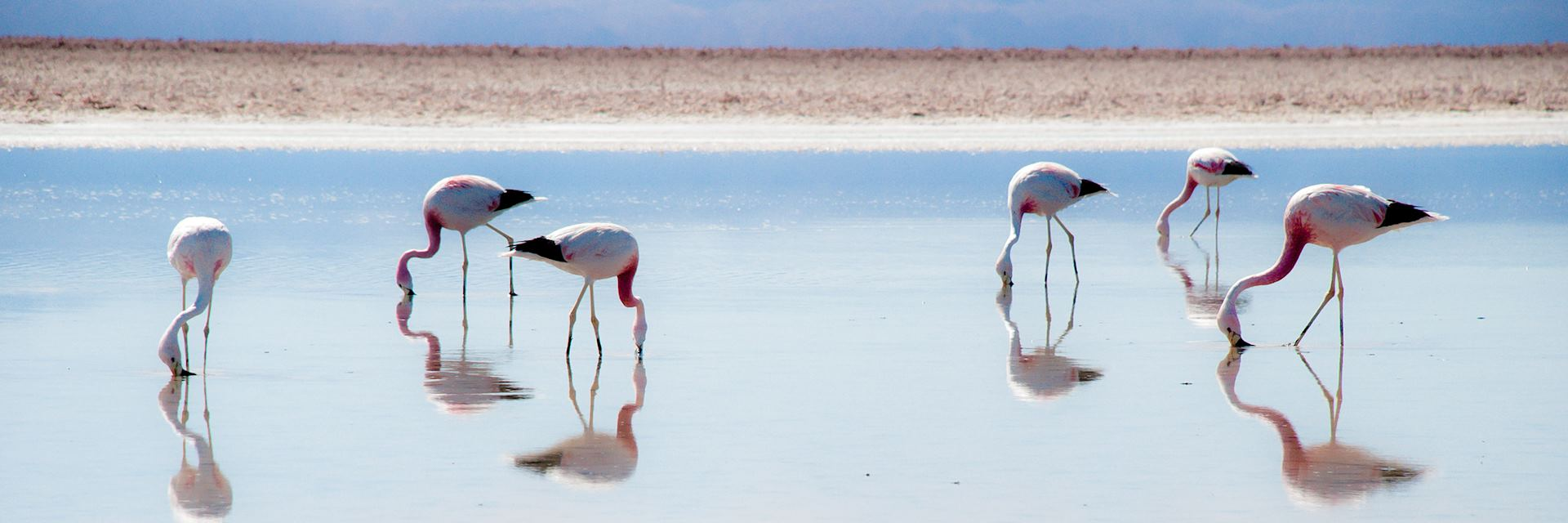 Flamingo on the Salar de Atacama slat flat