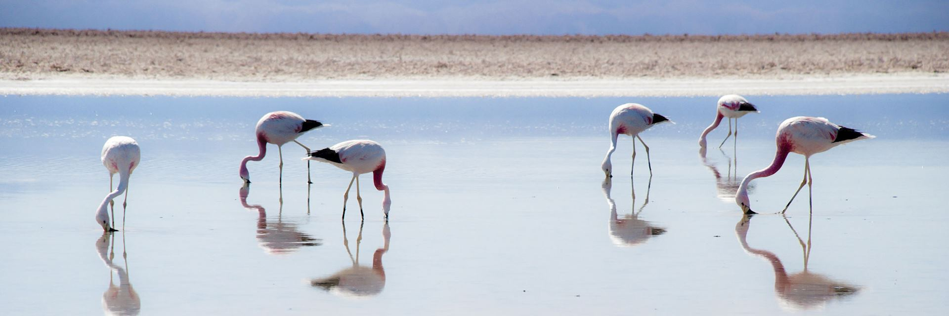 Flamingo on the Salar de Atacama slat flat