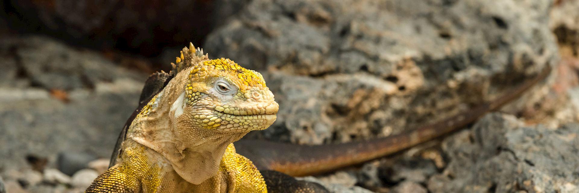 Land iguana on the Galapagos Islands