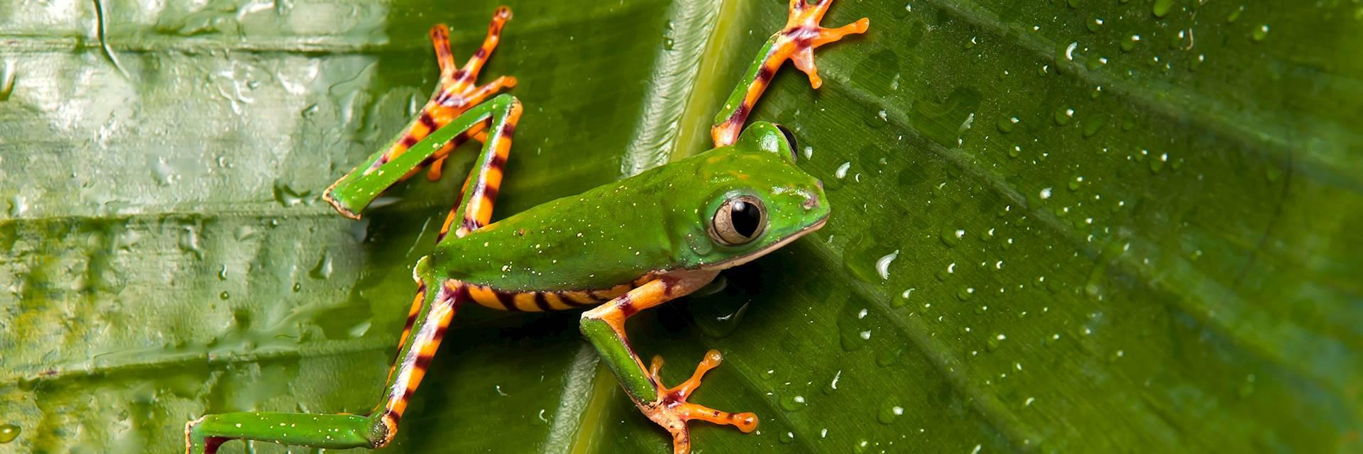 Frog, Guyana